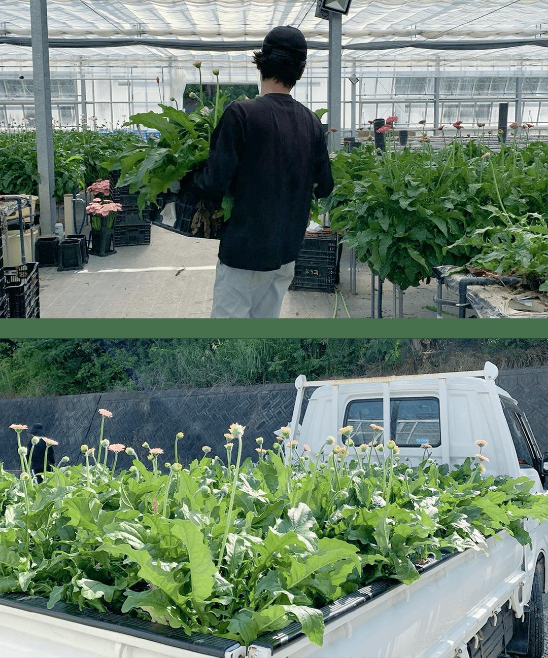 ガーベラの栽培